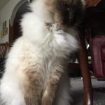 Peggy Sue (Ragdoll vrouwtje)